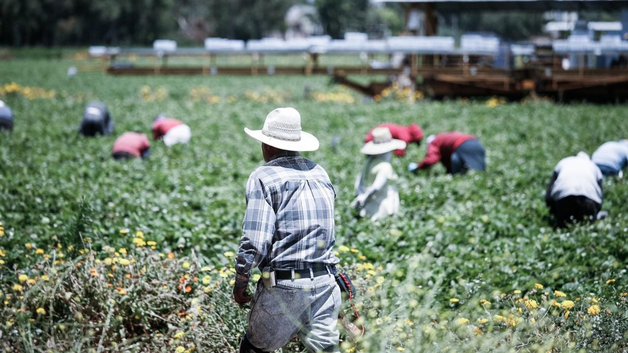 Secrets of truck farmers: growing strawberries in a barrel