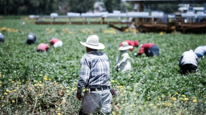 Fruit pickers in Oxnard, California. (Alex Proimos)